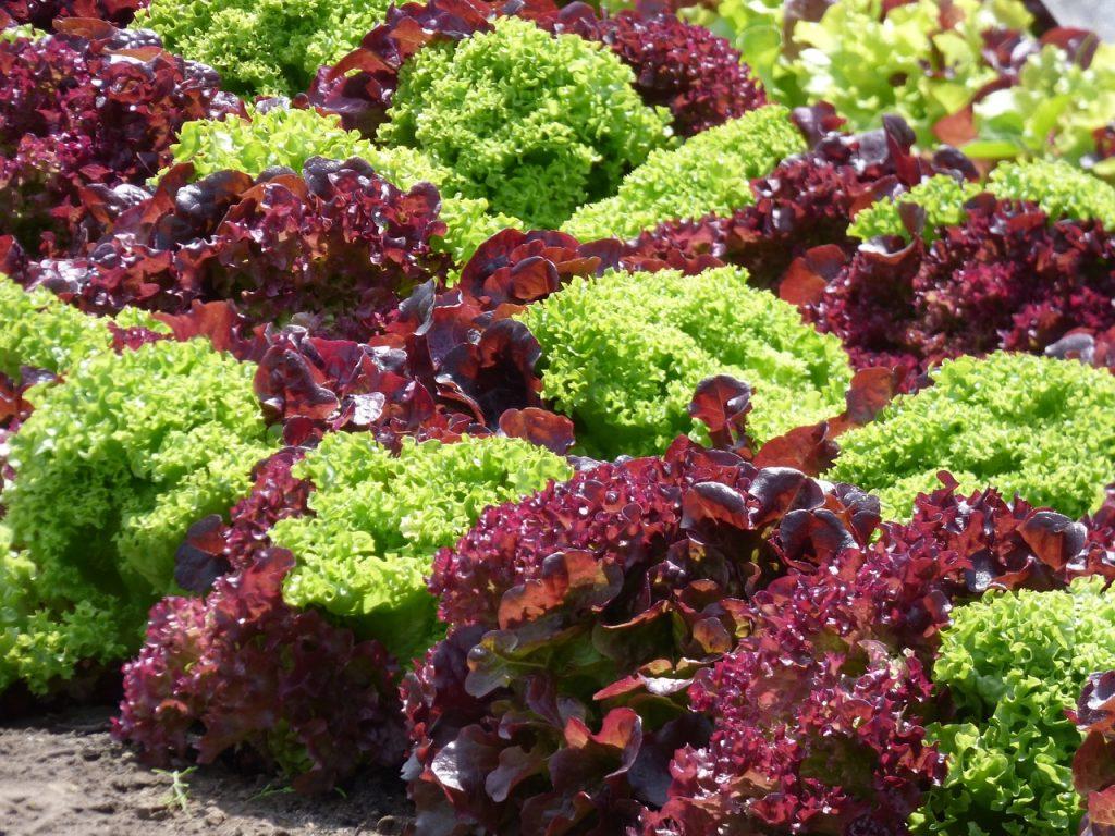 lettuce-1580674_1280